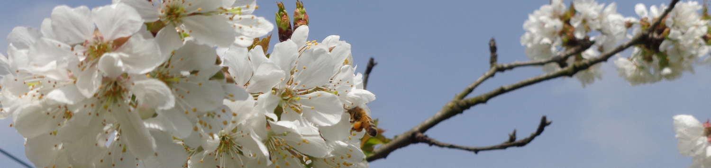 Prugne In Fiore